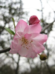 Kirschblüte in China