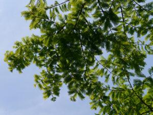 Metasequoia glyptostroboides, Urweltmammutbaum, Chinesisches Rotholz, Chinesische Wasserlärche