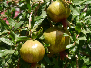Granatapfelfrüchte, Punica granatum in China