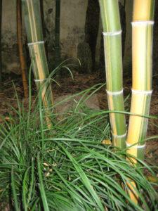 Bambus und Ophiopogon japonicus im Yu Garten, Shanghai