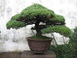 chinesische Bonsai sind sowohl in größeren Gefäßen und erreichen auch eine andere Größe als japanische Bonsais.