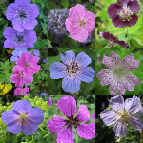 Collage von Geranium-Blüten in Wurzerlsgarten