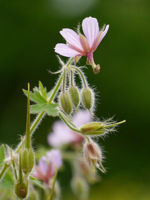 Geranium aristatum, Gegrannter Storchschnabel, Wurzerlsgarten