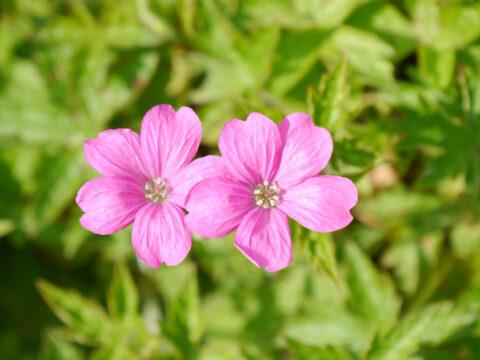 Geranium endressii 'Wargrave Pink', Rosa Storchschnabel, Wurzerlsgarten