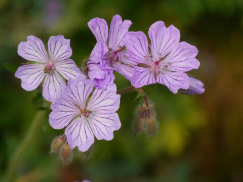 Geranium malviflorum, Malvenblütiger Storchschnabel, Wurzerlsgarten