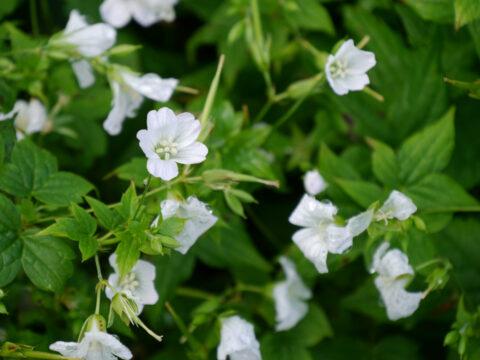 Geranium nodosum 'Silverwood', knotiger Bergstorchschnabel, Wurzerlsgarten