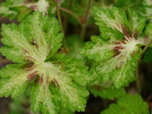 Geranium phaeum 'Springtime', Wurzerlsgarten