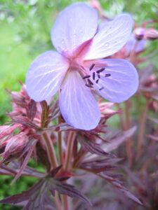 Geranium pratense 'Midnight Reiter', Wurzerlsgarten
