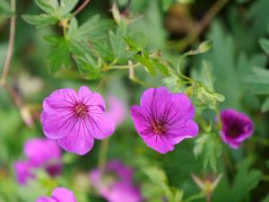 Geranium psilostemon x sanguineum 'Little David', Wurzerlsgarten