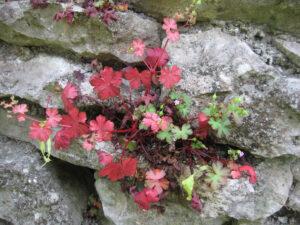 Geranium pyrenaicum, Pyrenäen-Storchschnabel, Wurzerlsgarten