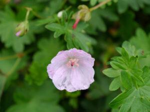 Geranium sanguineum 'Apfelblüte', Wurzerlsgarten