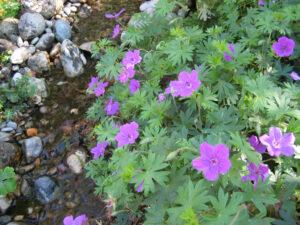 Geranium sanguineum, Wurzersgarten