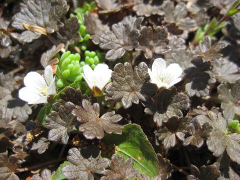 Geranium sessiliflorum 'Nigricans', Wurzerls Steingarten