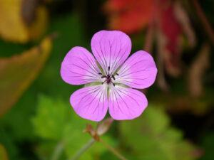 Geranium wallichianum 'Pink Penny' Wurzerlsgarten