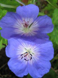 Geranium wallichianum 'Rozanne', Wurzerlsgarten