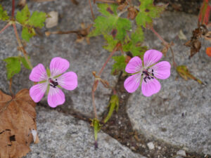 Geranium wallichianum 'Sweet Heidy', Wurzerlsgarten