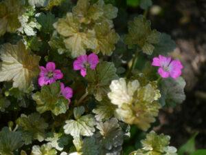Geranium x cultorum 'Orkney Cherry', Wurzerlsgarten