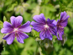 Geranium x magnificum, Pracht-Storchschnabel, Wurzerlsgarten