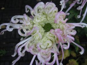 Chrysanthemum x grandiflorum Hybr. in China