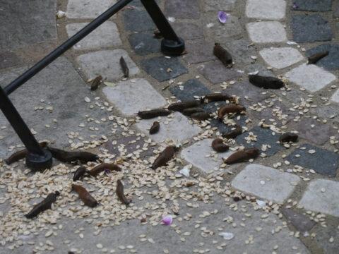 Spanische Wegschnecken fressen auf der Terrasse das Vogelfutter in Wurzerlsgarten