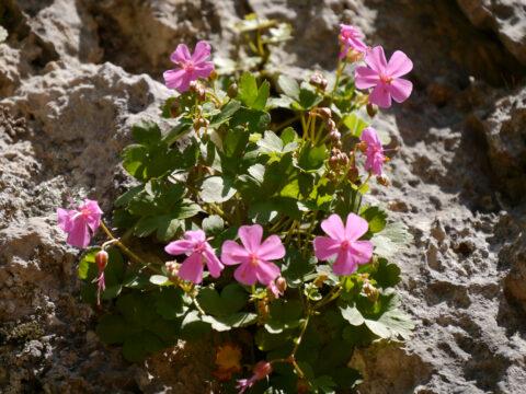 Geranium lucidum L., Yazılı Kanyon Tabiat Parkı, Taurus, Türkei