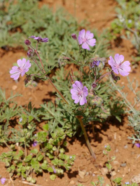 Geranium libanoticum Schenk, Kaplanliköy, Taurus, Türkei