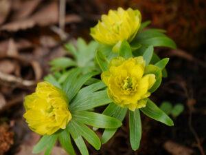 Eranthis hyemalis 'Flore Plena' in Wurzerlsgarten