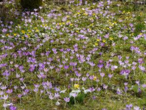 Crocus tommasinianus, Elfenkrokus auf Blumenwiese in Wurzerlsgarten