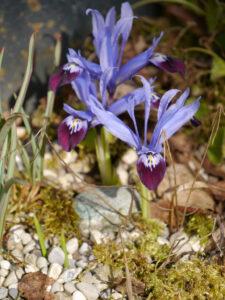 Iris histrioides 'Halkis', Wurzerlsgarten