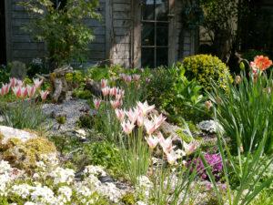 Tulipa clusiana 'Lady Jane', Damentulpe, in Wurzerlsgarten
