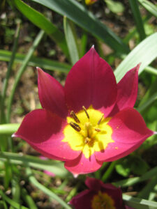 Tulipa humilis 'Violacea', Wurzerlsgarten