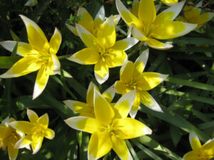 Tulipa tarda in Wurzerlsgarten
