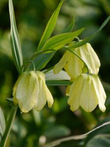Fritillaria pallidiflora, Bleiche Fritillaria