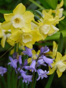 Hyacinthoides hispanica, Spanisches Hasenglöckchen und Narzissen in Wurzerlsgarten