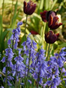 Hyacinthoides hispanica, Spanisches Hasenglöckchen, vor Tulpen