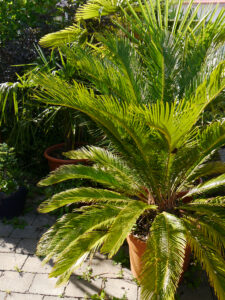 Cycas revoluta, Chiemgau-Kaktus, Michael Kießling