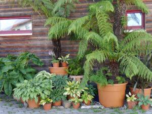 Palmfarne und Hostas, eine spezielle Kombination bei Chiemgau-Kaktus