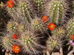 Echinocereus polyacanthus, Chiemgau-Kaktus