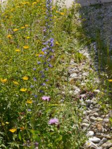 Natternkopf und andere Bienenweide im Kiesstreifen beim Chiemgau-Kaktus