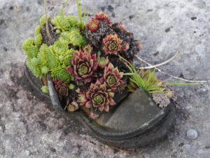 Sempervivum im Schuh, Wurzerl wachsen überall bei Chiemgau Kaktus
