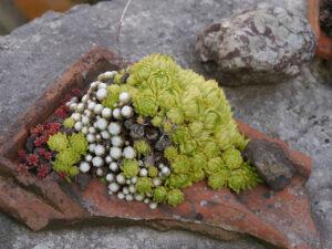 Der alte Tonscherben erinnert an die Vorschrift im Mittelalter, Hauswurzen aufs Dach zu pflanzen, Chiemgau Kaktus