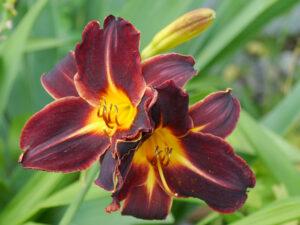 Hemerocallis 'Bamboo Blackie', Taglilien-Sammlung Theresa Foxinger