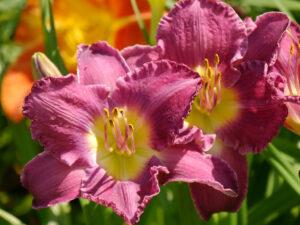 Hemerocallis 'Prairie Blue Eyes', Taglilien-Sammlung Theresa Foxinger