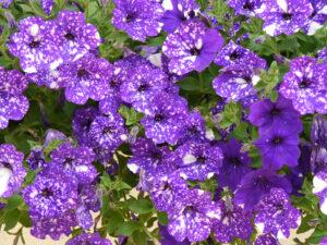 Petunie 'Night Sky' x 'Sparkling Blue', Theresa Foxinger