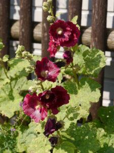 Alcea rosea, Stockrose, Theresa Foxinger