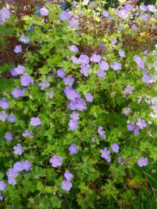Geranium 'Rozanne', Theresa Foxinger