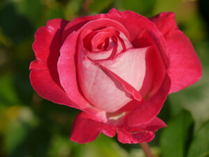 unbekannte Rose, Theresa Foxinger