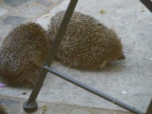 Die Stachelritter schieben sich gegenseitig vom Futter weg auf  Wurzerlsgarten-Terrasse