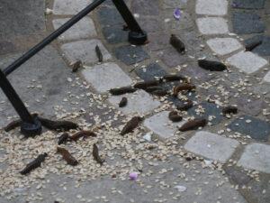 Spanische Wegschnecken fallen über das Vogelfutter her in Wurzerlsgarten