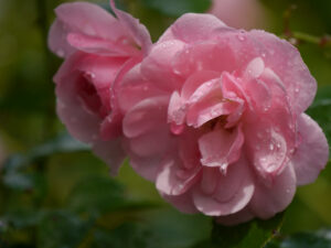 Rosa 'Bonica 82', Wurzerlsgarten